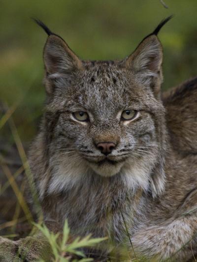Canada Lynx (Lynx Canadensis), Delani National Park, Alaska-Michael S^ Quinton-Photographic Print