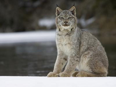 https://imgc.artprintimages.com/img/print/canada-lynx-lynx-canadensis-sitting-in-the-snow-kalispell-montana_u-l-peu0rj0.jpg?p=0