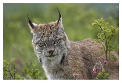 Canada Lynx portrait, North America-Tim Fitzharris-Art Print
