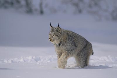 Canada Lynx Walking in Snow-DLILLC-Photographic Print