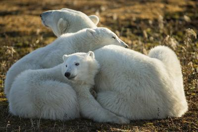 Canada, Manitoba, Churchill, Polar Bear and Cubs Resting on Tundra-Paul Souders-Photographic Print
