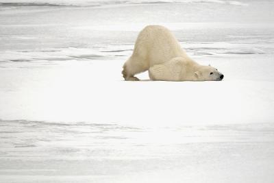 Canada, Manitoba, Churchill. Polar Bear on Frozen Tundra-Jaynes Gallery-Photographic Print