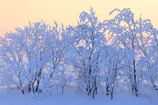 Canada, Manitoba, Dugald. Hoarfrost-covered trees.-Jaynes Gallery-Photographic Print
