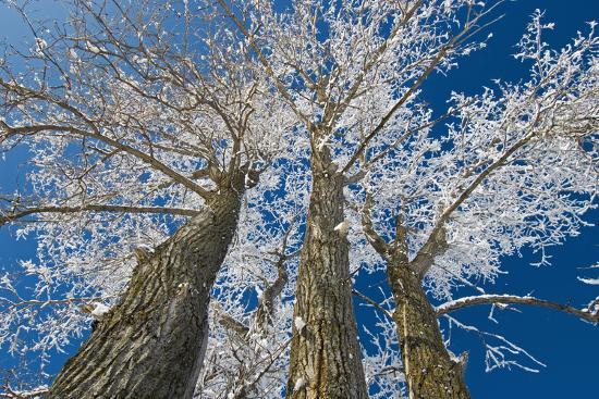 Canada, Manitoba, Dugald. Hoarfrost on cottonwood tree.-Jaynes Gallery-Photographic Print