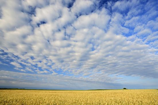 Canada, Manitoba, Holland. Wheat crop and clouds.-Jaynes Gallery-Photographic Print