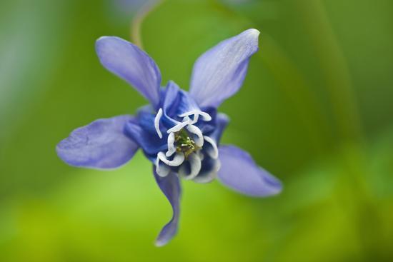 Canada, Manitoba, Winnipeg. Blue columbine flower close-up.-Jaynes Gallery-Photographic Print