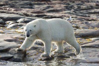 Canada, Nunavut, Repulse Bay, Polar Bear Patrolling Along Shoreline-Paul Souders-Photographic Print