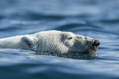 Canada, Nunavut, Repulse Bay, Polar Bear Swimming Near Harbour Islands-Paul Souders-Photographic Print