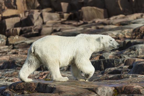 Canada, Nunavut, Repulse Bay, Polar Bear Walking Along Rocky Shoreline-Paul Souders-Photographic Print