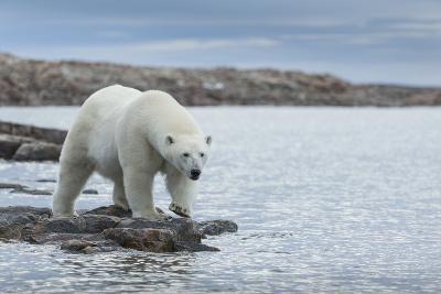 Canada, Nunavut, Repulse Bay, Polar Bear Walking Along Shoreline-Paul Souders-Photographic Print