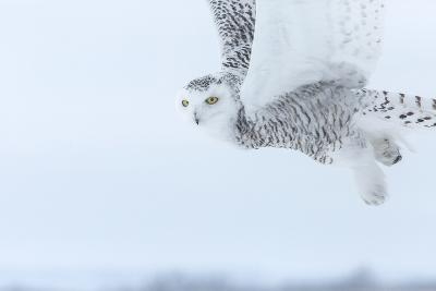 Canada, Ontario, Barrie. Close-Up of Snowy Owl in Flight-Jaynes Gallery-Photographic Print