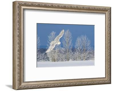 Canada, Ontario. Female snowy owl in flight.-Jaynes Gallery-Framed Photographic Print