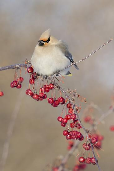 Canada, Quebec. Bohemian Waxwing Bird on Limb-Jaynes Gallery-Photographic Print