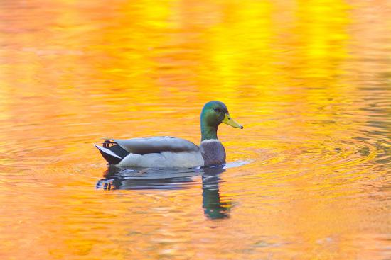 Canada, Quebec, Mount St-Bruno Conservation Park. Mallard Drake Autumn-Colored Water-Jaynes Gallery-Photographic Print