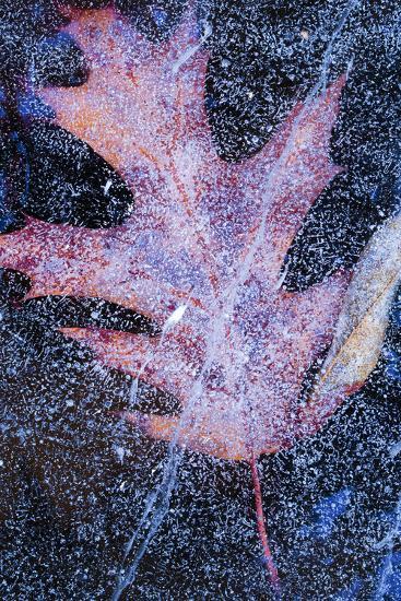Canada, Quebec, Mount St-Bruno Conservation Park. Red Oak Leaf under Lake Ice-Jaynes Gallery-Photographic Print