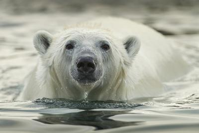 Canada, Repulse Bay, Polar Bear Along Shoreline of Harbour Islands-Paul Souders-Photographic Print