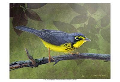 Canada Warbler-Chris Vest-Art Print