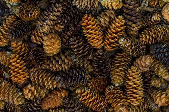 Canada, Yukon Territory, Kluane National Park. Close-up of spruce cones.-Jaynes Gallery-Premium Photographic Print