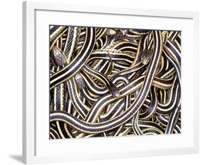 Canadian Garter Snake-David Northcott-Framed Photographic Print