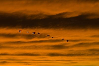 Canadian Geese Fly across a Dramatic Evening Sky-Skip Brown-Photographic Print