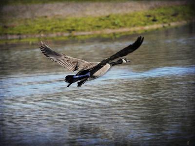 https://imgc.artprintimages.com/img/print/canadian-goose-in-flight-2_u-l-pu0jmk0.jpg?p=0