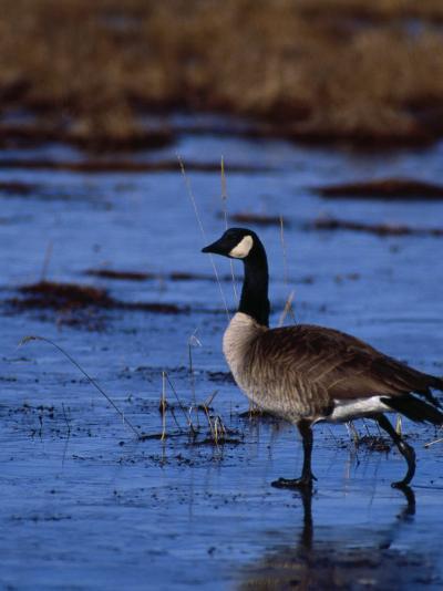 Canadian Goose in Water, CO-Elizabeth DeLaney-Photographic Print