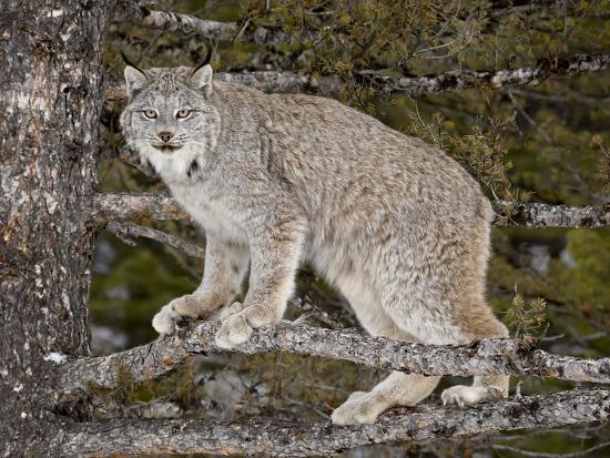 Canadian Lynx (Lynx Canadensis) in a Tree, in Captivity, Near Bozeman, Montana, USA-James Hager-Photographic Print