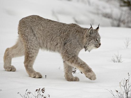 Canadian Lynx (Lynx Canadensis) in Snow in Captivity, Near Bozeman, Montana--Photographic Print
