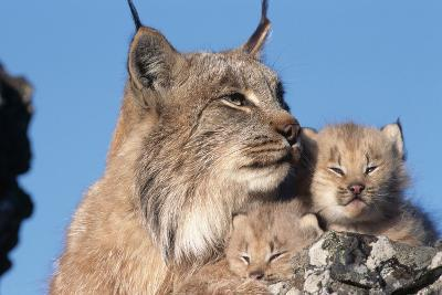 Canadian Lynx with Young-W^ Perry Conway-Photographic Print