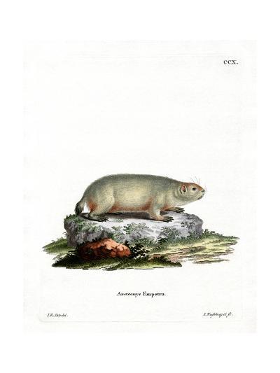 Canadian Marmot--Giclee Print
