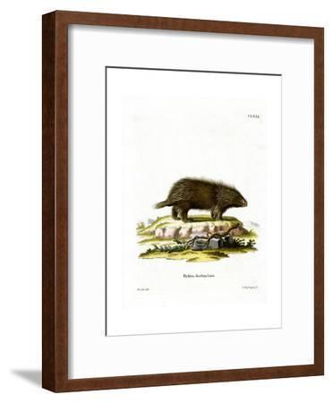 Canadian Porcupine