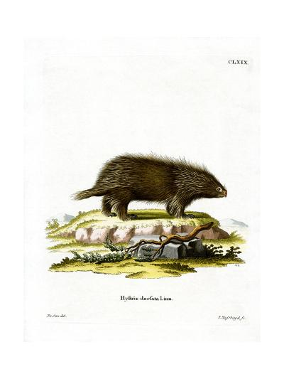 Canadian Porcupine--Giclee Print