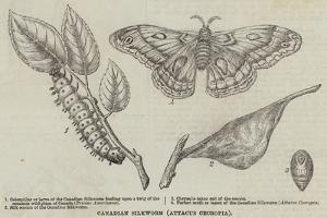 Canadian Silkworm (Attacus Cecropia)