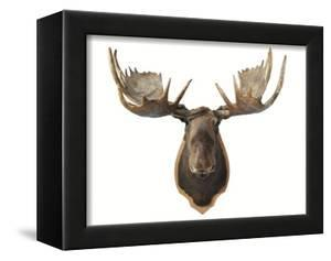 Canadian Taxidermy Moose Head Hunting Trophy, Mounted on an Oak Shield, Vancouver