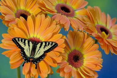 Canadian Tiger Swallowtail Butterfly-Darrell Gulin-Photographic Print