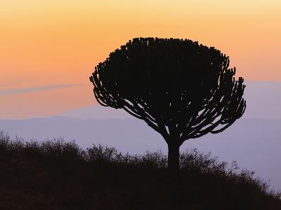 Candelabra Tree (Euphorbia Ingens) Silhouetted at Sunrise, Ngorongoro Crater, Tanzania, Africa-Adam Jones-Photographic Print