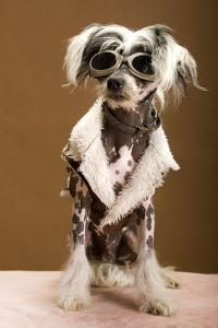 Sexy Chinese Crested Hairless Sporting A Cool Coat And Glasses by Candicecunningham