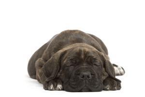 Cane Corso (Italian Guard Dog) Lying