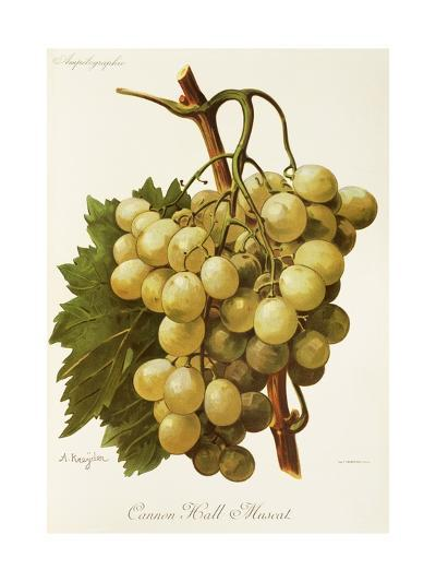 Cannon Hall Muscat Grape-A. Kreyder-Giclee Print