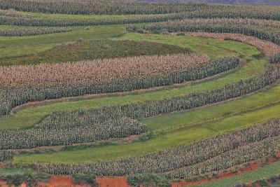 Canola and Corn Crop,Kunming Dongchuan Red Land, China-Darrell Gulin-Photographic Print