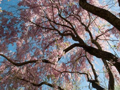Canopy of Weeping Higan Cherry Trees, Prunus Subhirtella Var. Pendula-Darlyne A^ Murawski-Photographic Print