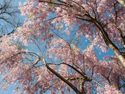 Canopy View of Weeping Cherry Trees, Prunus Subhirtella Var. Pendula-Darlyne A^ Murawski-Photographic Print