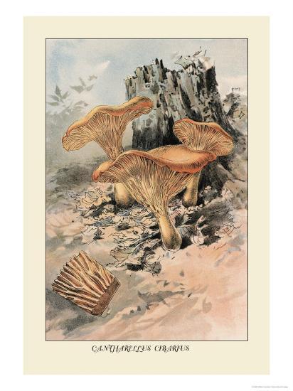 Canthareius Cibarius-William Hamilton Gibson-Art Print