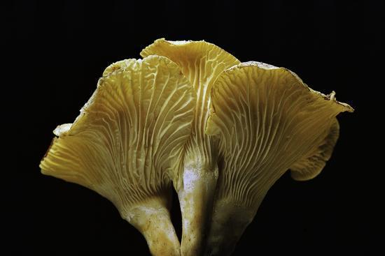 Cantharellus Cibarius (Chanterelle, Egg Mushroom)-Paul Starosta-Photographic Print