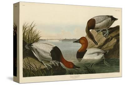 Canvas Backed Duck-John James Audubon-Stretched Canvas Print