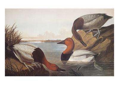 Canvas-Backed Duck-John James Audubon-Art Print