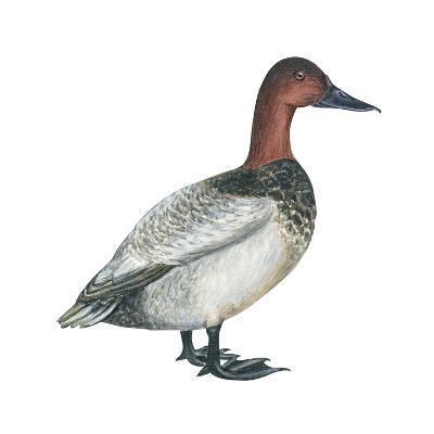 Canvasback (Aythya Valisineria), Duck, Birds-Encyclopaedia Britannica-Art Print