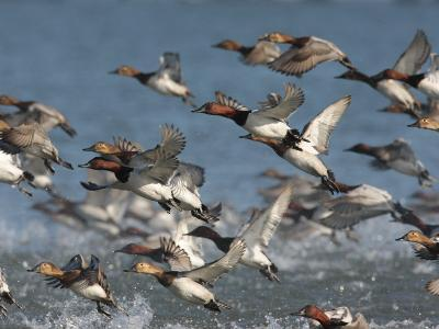 Canvasback Ducks, Aythya Valisineria, Taking Flight from the Water-George Grall-Photographic Print