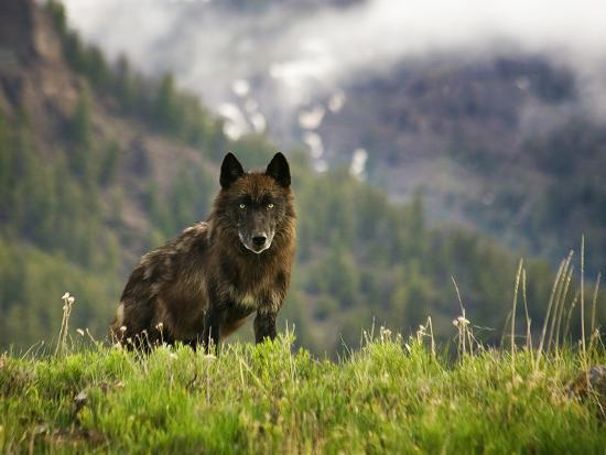 Canyon Pack Alpha Female Wolf of 2009-Mike Cavaroc-Photographic Print