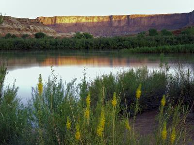 Canyonlands NP, Utah. Prince's Plume in Bloom Along Green River, Dawn-Scott T^ Smith-Photographic Print